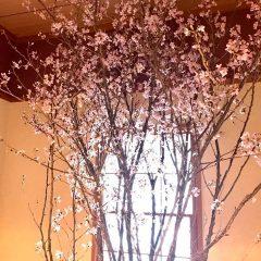 4種類の桜🌸